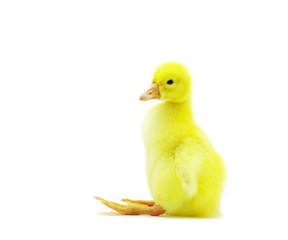 fluffy gosling