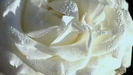 White Rose in Dewdrop