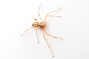 House Spider walking