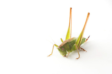Big green grasshopper isolated on white