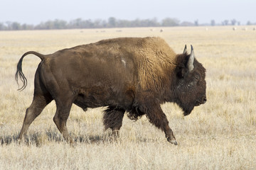 North American bison male who goes by the Ukrainian steppes