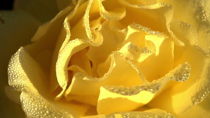 Yellow Rose in Dewdrop
