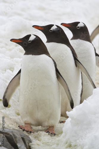Aluminium Antarctica Three Gentoo penguins standing on the road