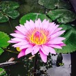 lotus and pink flower