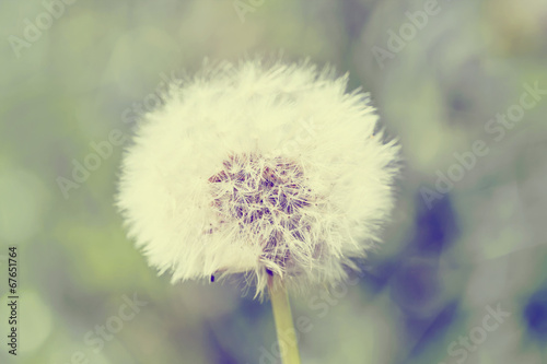 close up of Dandelion with abstract color - 67651764