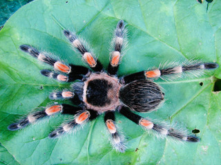 Tarantula on leaf
