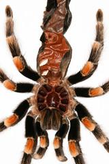 Tarantula skin