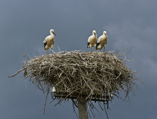 Three storks in a nest.