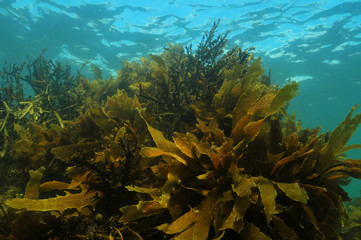 Shallow water kelp forest in temperate Pacific ocean