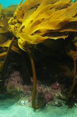 Kelp Ecklonia radiata growing on rocky reef in current