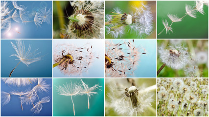 Collage: dandelion clock :)