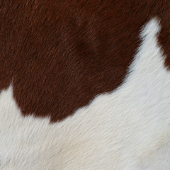 Fragment of a skin of a cow