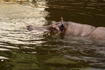 hipopotan