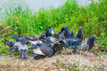 Flock of pigeons feeding in the grass. Selective focus.