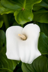 White calla flower