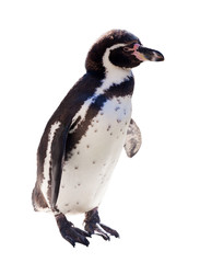Humboldt penguin  over white