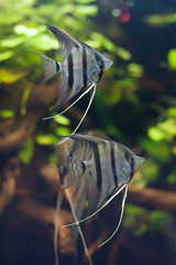Peruvians angelfishes.