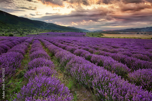 Stunning landscape with lavender field at dawn canvas