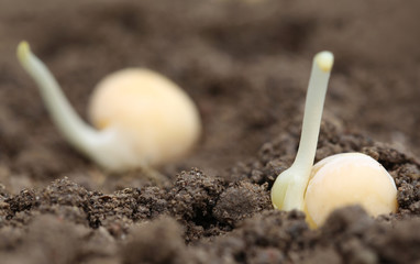 Green pea seedling in fertile soil
