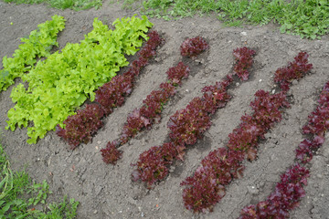 Two types of sheet salad grow on a bed