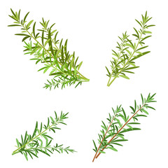 bunch fresh rosemary herb isolated set
