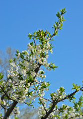 Blooming plum 13