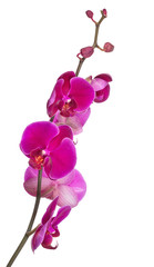 branch with bright large pink orchid blooms