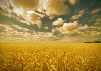 aged photo with yellow wheat field