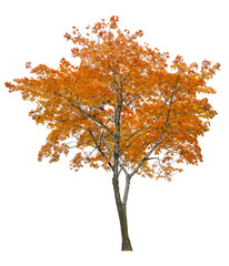 bright isolated single orange maple tree