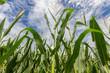 Maize field - 67658956