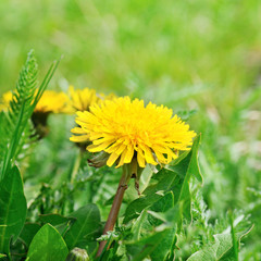 dandelions on a green meadow