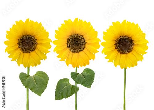 Fotobehang Zonnebloemen Drei Sonnenblumen