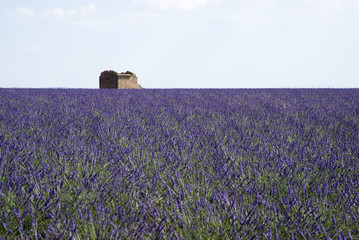 Famous lavender fields in the plateau Valensole, France