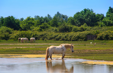 View of wild Camargue Horse, Soca River Mouth -  Italy
