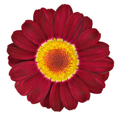 Dark Red Gerbera Flower Isolated on White