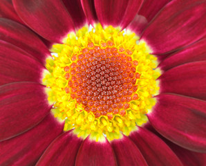 Center of Dark Red Gerbera Flower