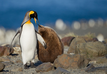 King penguin with young one