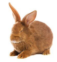 light brown rabbit