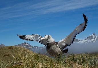Young wandering albatross