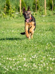 German Shepherd puppy running
