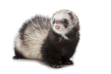 polecat isolated over white background
