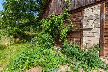 Old barn with grapes wine plants