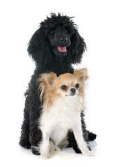 puppy poodle and chihuahua