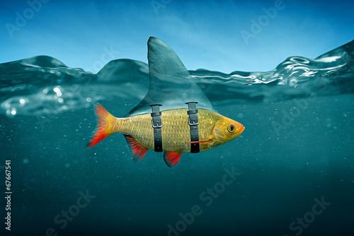 Leinwandbild Motiv Small Fish with Shark Fin
