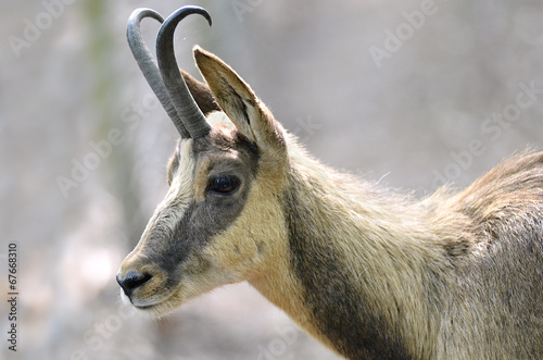 Aluminium Antilope Portrait of chamois