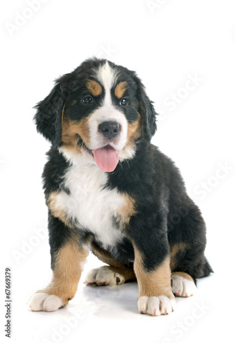 canvas print picture puppy bernese moutain dog