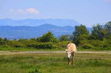 Camargue horse