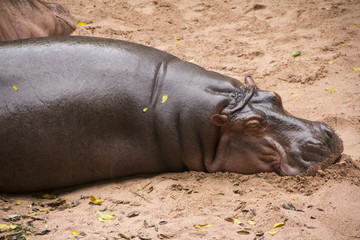 Hippopotamus sleeping on the sand
