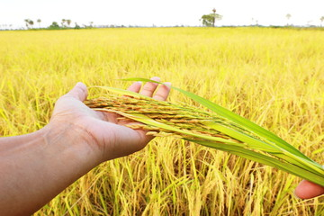 Ear of rice  in farmer hand.