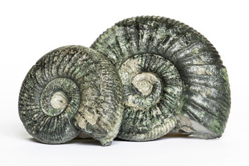 Coppia di Orthosphinctes, ammoniti fossili